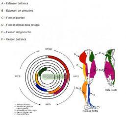 I muscoli della pedalata